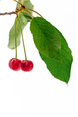 Ripe cherry branch, isolated over white background.
