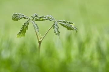 Kastanie Jungpflanze