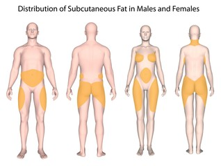 Subcutaneous fat distribution in men and women