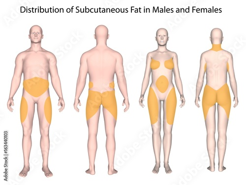 Subcutaneous fat distribution in men and women\