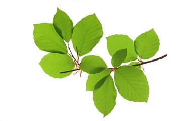 Rot-Buche (Fagus sylvatica) kleiner Zweig mit frischgrünen Blättern vor weißem Hintergrund
