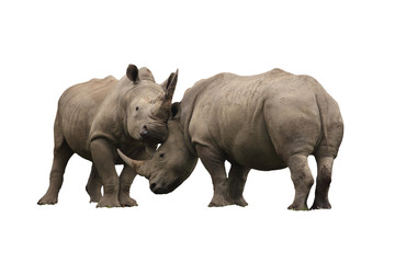 Two rhinoceros fighting cut out and isolated on a white background