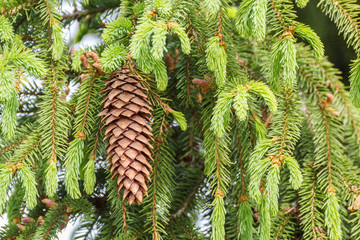 Branch spruce with cones