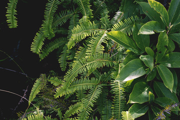 beautiful fern leave background, green foliage in the wild rain forest