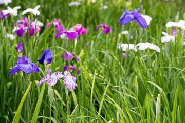 Landscape of Iris garden