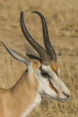 Springbok Antelope (Antidorcas marsupialis), Kalahari Transfrontier Park, South Africa, Africa