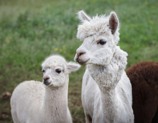 Poster Lama Close up of alpaca on the farm