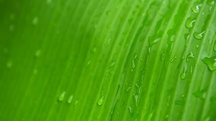 Wall Mural - Rain drops on banana leaf.