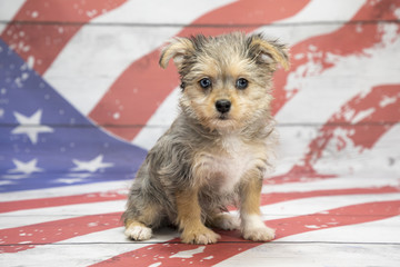 Maltipom on American Flag background