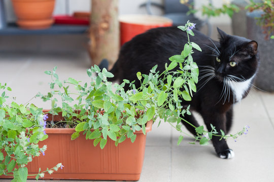 Close up of catnip, green herb growing in a container and black cat walking around