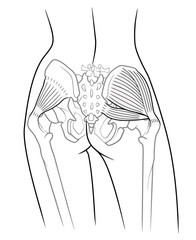 The internal structure of the pelvic girdle female skeleton and gluteus minimus muscle, gluteus medius muscle and piriformis,  rear view. On a white background