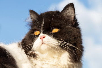 portrait of black and white curious Persian kitty cat looks out from behind with the blue sky background.
