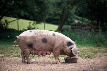Piglet (Sus scrofa domestica) at an organic farm