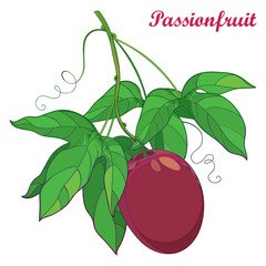 Vector branch with outline ripe Passion fruit or Maracuya fruit and leaf isolated on white background. Perennial tropical plant in contour style for exotic summer design and fresh food menu.