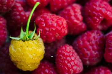 Sweet fresh organic raspberries background closeup, selective focus, free space. Macro photo. One yellow raspberry on red raspberries. Natural berry background