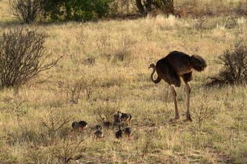 Der Vogel Strauß in der afrikanischen Savanne in Kania
