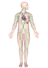 Human lymphatic system, unlabeled.