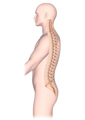 Spine anatomy, side view
