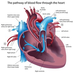 The pathway of blood flow through the heart, labeled.