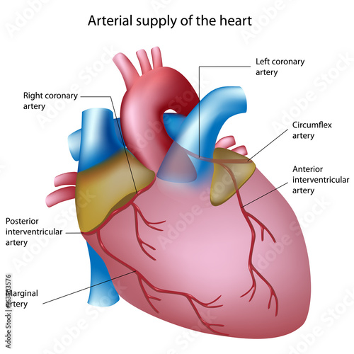 Blood supply to the heart, labeled