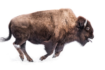 Tuinposter Buffel American Bison in Snow IV