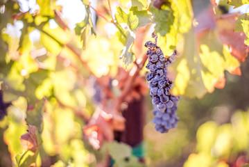 Summer sun ripens the grapes of tomorrow's wine