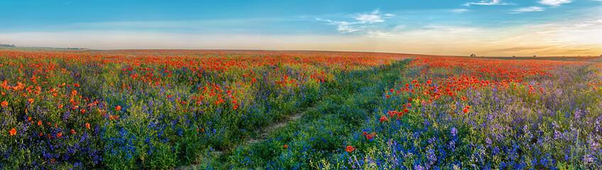 Spoed Fotobehang Klaprozen Big Panorama of poppies and bellsflowers field with path