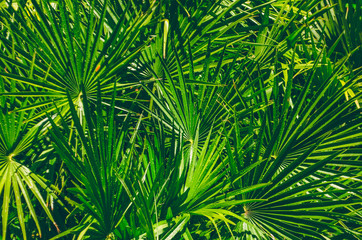 The leaves of a palm tree in the jungle. Texture of the leaves of the palm