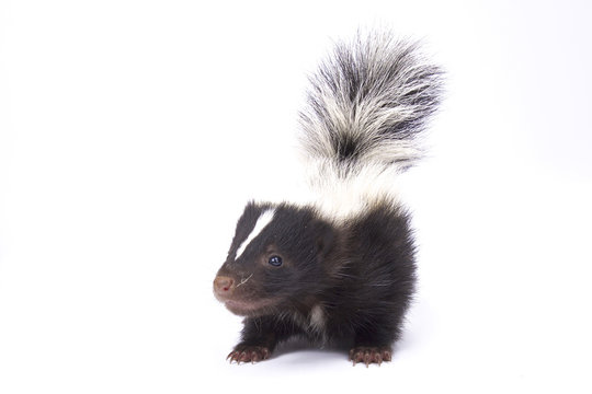 Baby striped skunk, Mephitis mephitis