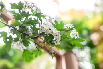 hawthorn blooms