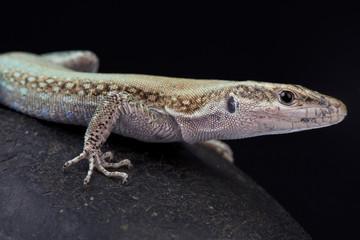 Pelasgian Rock Lizard, Anatololacerta pelasgiana