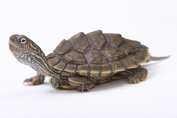 Texas map turtle, Graptemys versa