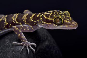 Wall Mural - Doi Suthep Bent-toed gecko, Cyrtodactylus doisuthep