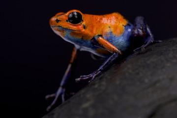 "Strawberry dart frog, Oophaga pumilio ""Blue jeans Nicaragua"""