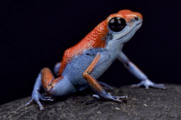 "Strawberry dart frog, Oophaga pumilio ""Escudo"""