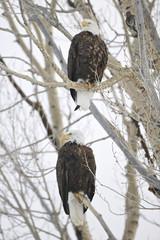Bald Eagle (Haliaetus leucocephalus), Grand Teton NP, Wyoming, USA