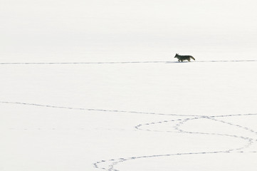 Coyote (Canis latrans) walking and leaving tracks on the snow. Grand Teton, Wyoming