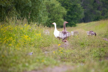 A goose and a goose with goslings walking along the road overgrown with grass