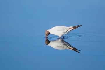 Black-headed seagull in Seaton Wetlands, Devon
