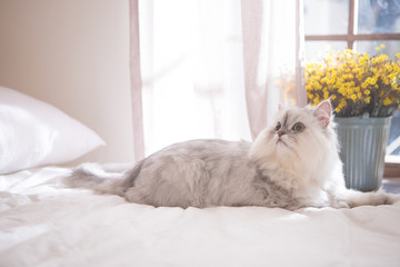 Persian on the bed
