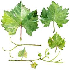 Set of grape leaves, watercolor sketch