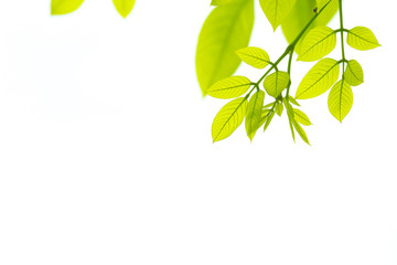 Green leaves isolated. This has clipping path