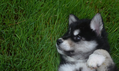 Amazing Face and Markings on an Alusky Puppy Dog