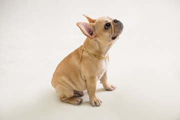 French Bulldog on the white background