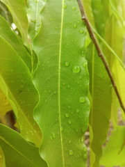 The Monsoon rain drops on the green flora of Indian subcontinent. The Monsoon season is on its peak in India.