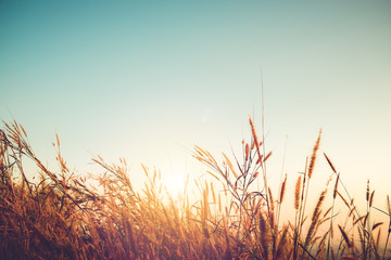 Beautiful autumn season background - wild grass with sunset and blue sky in fall. Fotoväggar