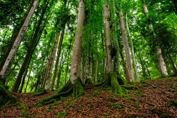 Wald mit Buchen (Fagus sylvatica) und Buamstamm mit Moos