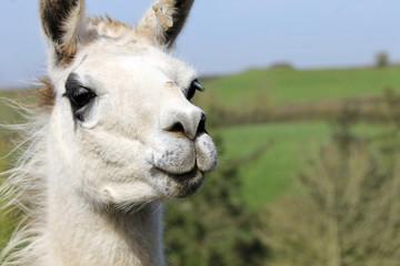 Llama looking