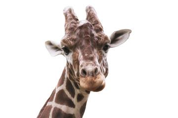 Giraffe head on a white background