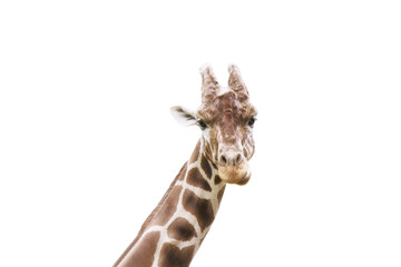 Giraffe head on a white background isolated